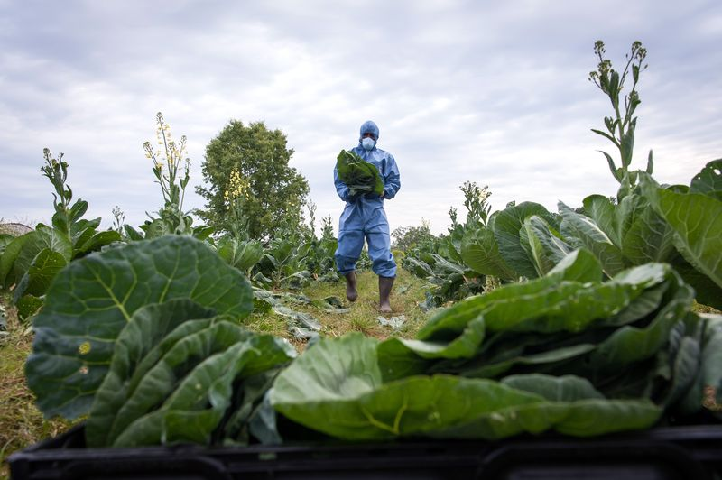 A worker wearing protective gear harvests collard greens at a farm in Jackson, Mississippi